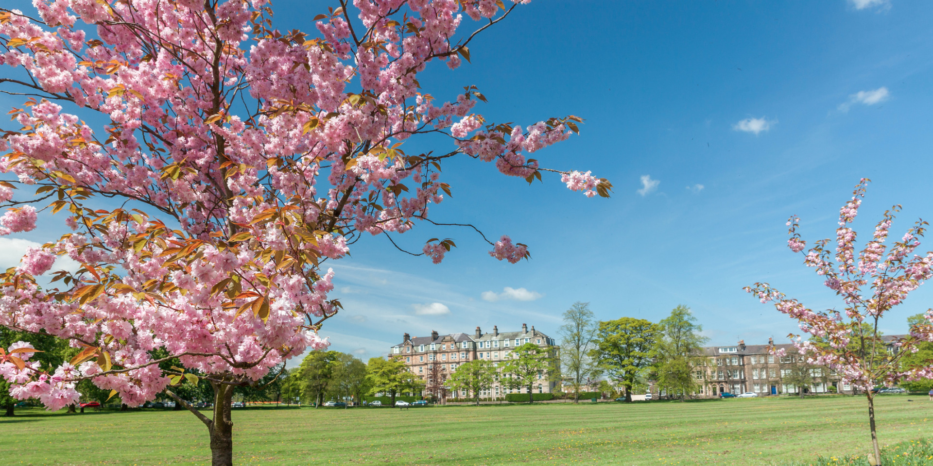 blossom tree in bloom on harrogate stray in north yorkshire