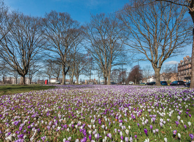 crocuses on the stray in Harrogate overlooking west park