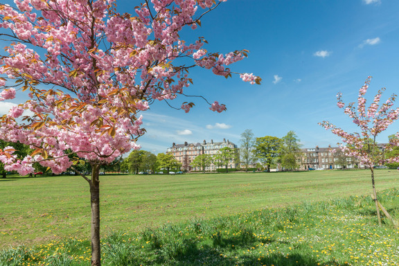 Harrogate stray blossom trees